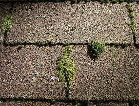 This moss may give a roof a fairy-tale look, but it can shorten the roof's lifespan at the same time. PHOTO CREDIT: Tim Carter